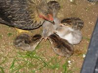 Young Guineas (Pearl)