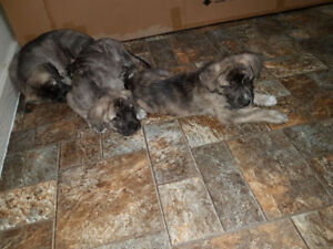 Husky x Cane Corso adorable puppies for sale!