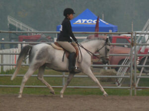 6 year old grey Arab Paint mare 14hh