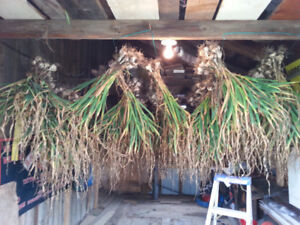 organic garlic for planting seed or eating $6 a pound