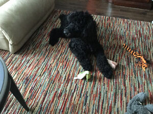 Standard poodle black