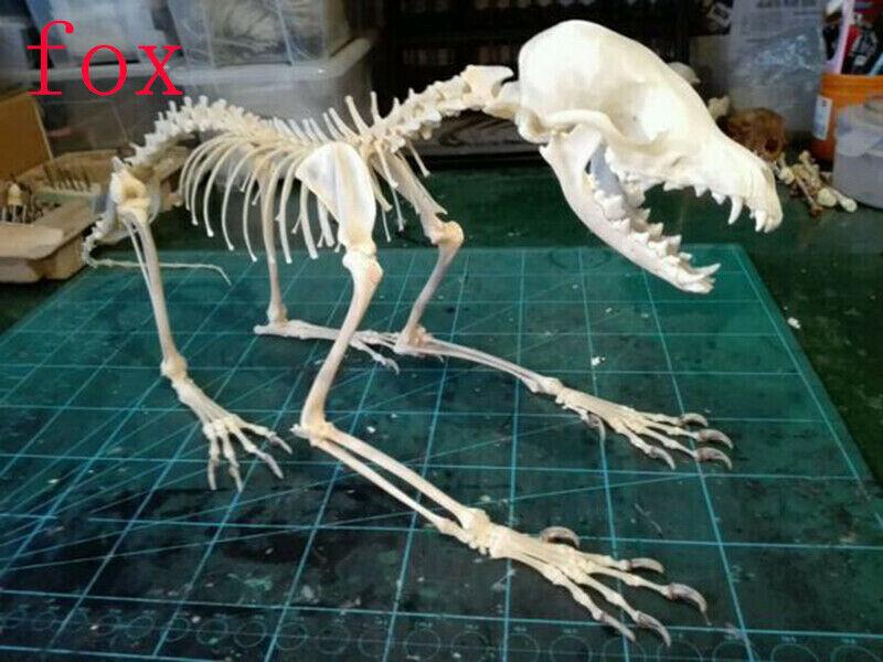 1Pcs Real Animal Skull complete skeleton specimen