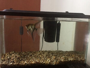 Angel Fish for sale + tank, filter, heater