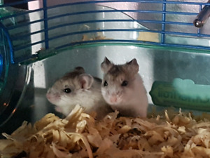 Selling 3 dwarf hamsters and cage
