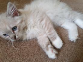 GCCF registered Ragdoll kittens x