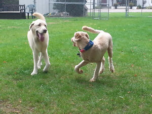 Birchview Dog Boarding - 30 mins from south end of Cambridge Cambridge Kitchener Area image 6