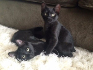 Manx Kittens for Sale