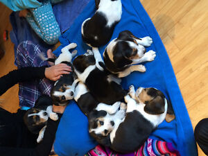Beagle Puppies!!