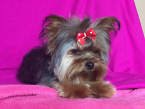 Teacup Male Pup Yorkshire(Yorkie) FULLY TRAINED and vetted