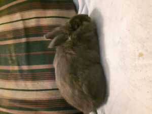 Male lionhead rabbit to rehome