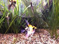 Freshwater angel fish