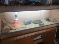 Male bearded dragon and vivarium approx 4 yrs old friendly