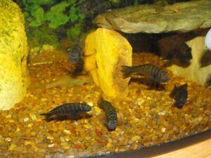 Group Of Tropheus Cichlids