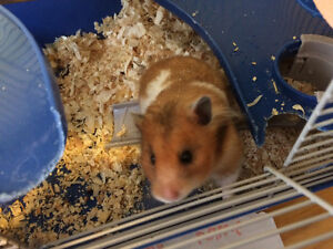 Long Haired Russian Hamster With Cage And Toys