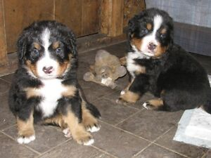 Bernese Mtn. Dog Puppies