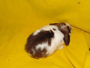 Holland Lop Female rabbit - special needs London Ontario image 3