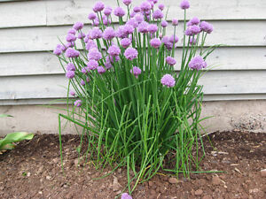 BEAUTIFUL CHIVES.... MY MOM'S FAVOURITE PERENNIAL