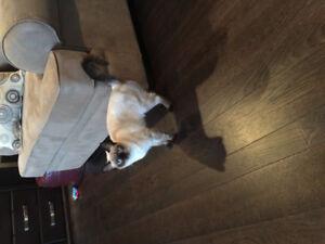 Siamese/rag doll Cat