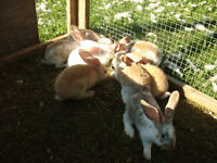 Flemish Giant Rabbit's