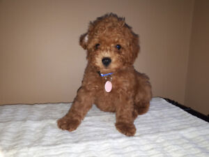 3 Male Red Toy Poodle Puppies