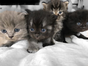 BLUE EYES CUTEST KITTENS / CHATONS
