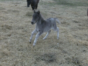 Gorgeous mini appy filly for sale