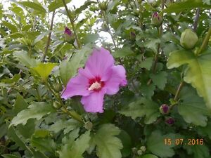 White or Pink or Purple Rose of Sharon, Yucca Plants and More