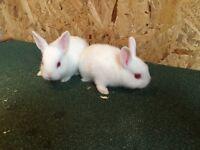 Rabbit Netherlands dwarf rabbits reserve now