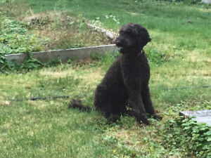 LOST TWO BLACK DOGS - IROQUOIS, Ontario