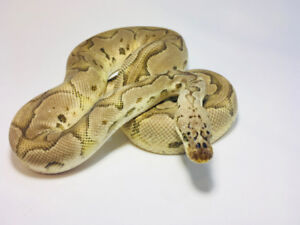 Ball Pythons, breeders and babies.