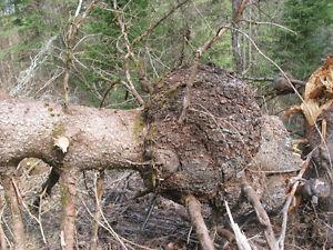 spruce burls