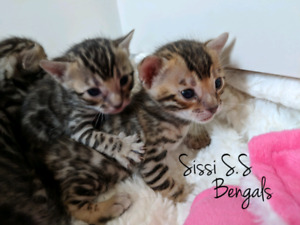 Chatons Bengal exceptionnels