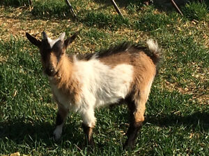 3 MONTH OLD MINIATURE GOAT KIDS FOR SALE