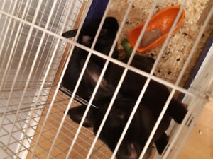 Two black rabbits for sale