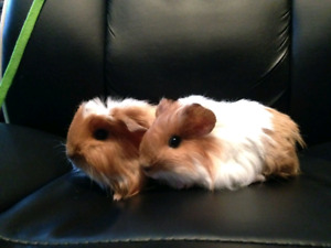 Young Fur Piggies ready for rehome