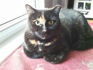 """Spice"" - beautiful spayed Torti - FREE to a good home"