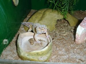 JUNGLE LEOPARD GECKO - FEMALE