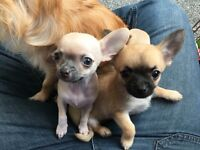 2 beautiful pedigree chihuahua girls