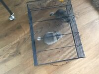 Baby Chinchillas 8 weeks old ready now