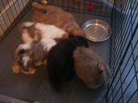 Tiny shih_tzu puppies for SALE