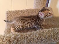 Last Bengal kitten !! NO TIME WASTERS !!!