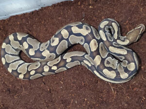 Rescued mature Ball Python 1.0