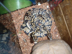 2 ball pythons with 55 gallon tank, heating pad, water & rock