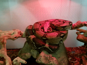 Colombian red tail boa for sale
