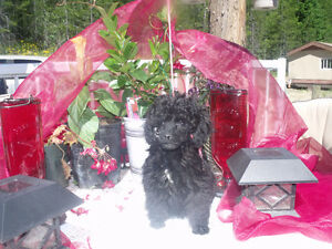 Black toy poodle female