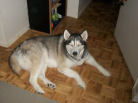 wanted missing huskey female 11 years old