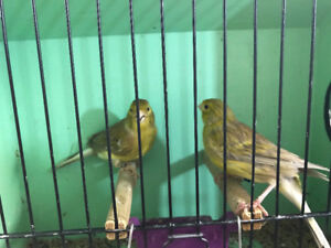 Canaries for sale many colors and kinds