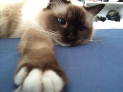 Ragdoll girl is looking for a new home Hornsby Hornsby Area Preview