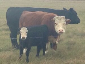 Small cow with heifer calf