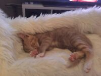 Female kitten for sale.